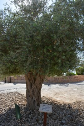 1400 year old Olive Tree at the Hotel