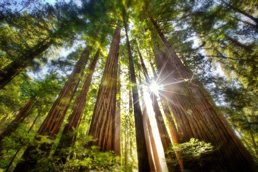 redwoods3