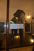 """The elephant """" Muligawa Raja"""" who carried the tooth for 37 years"""