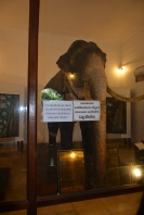 "The elephant "" Muligawa Raja"" who carried the tooth for 37 years"