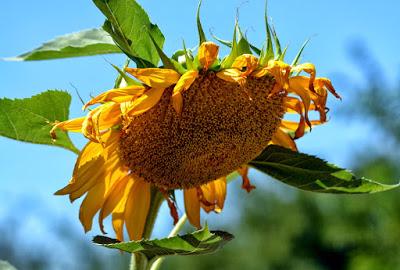 sunflower-02_7_13