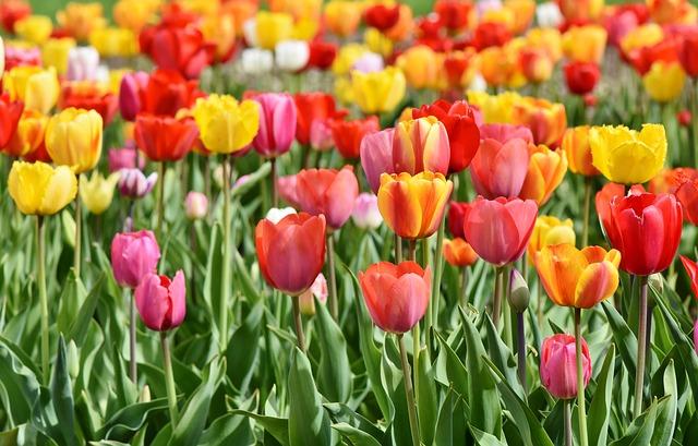 tulips-
