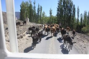 A herd of donkeys