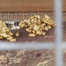 Luwak poop