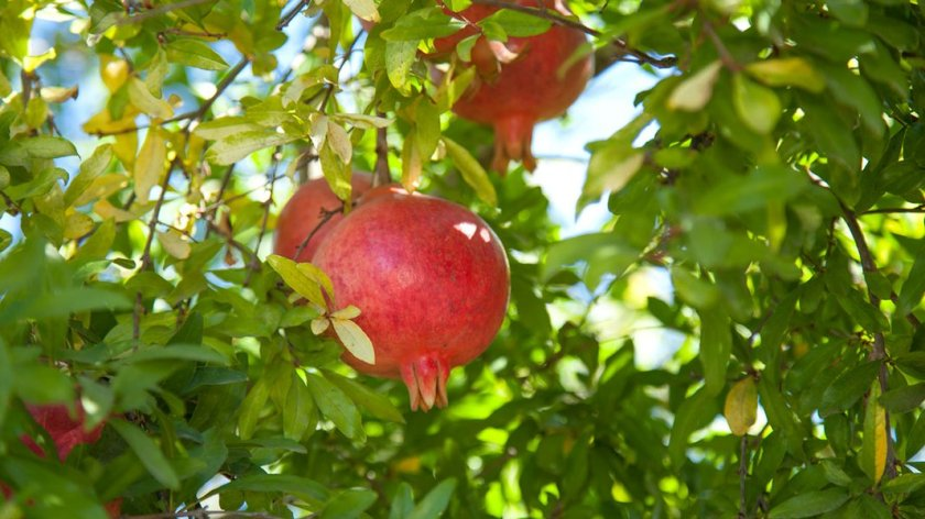pomegranate-1280x720_1170x600